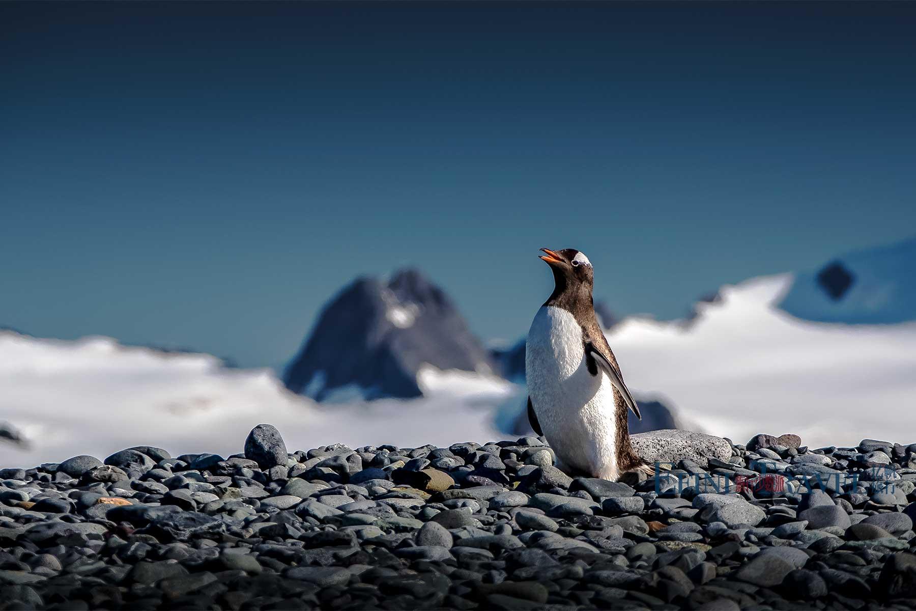 南极金图企鹅