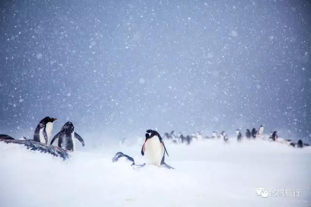 风雪中的企鹅