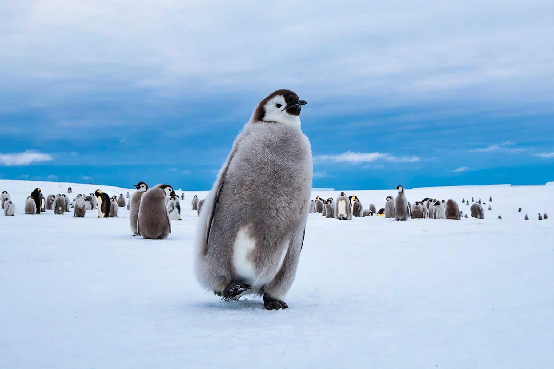 帝企鹅宝宝