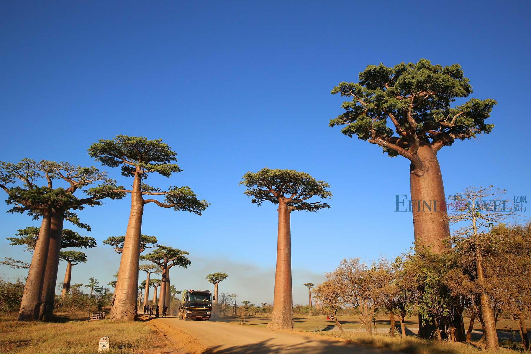 马达加斯加穆龙达瓦猴面包树大道
