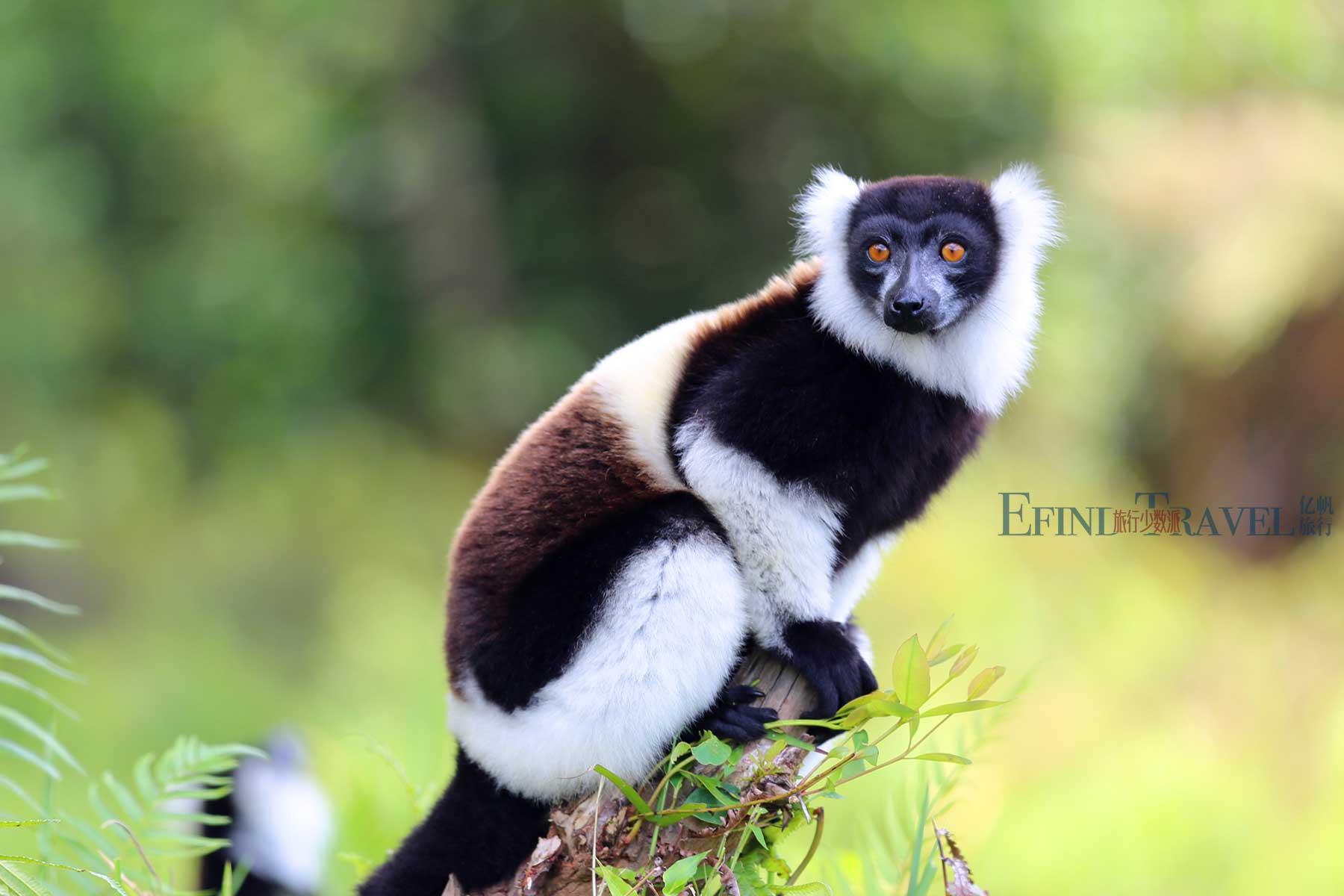 马达加斯加狐猴