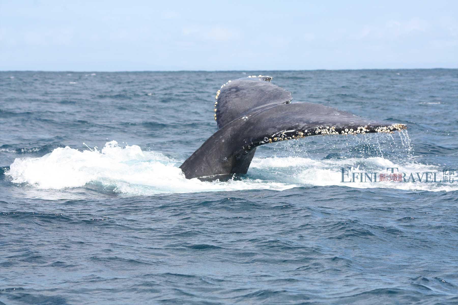马达加斯加圣玛丽岛观鲸