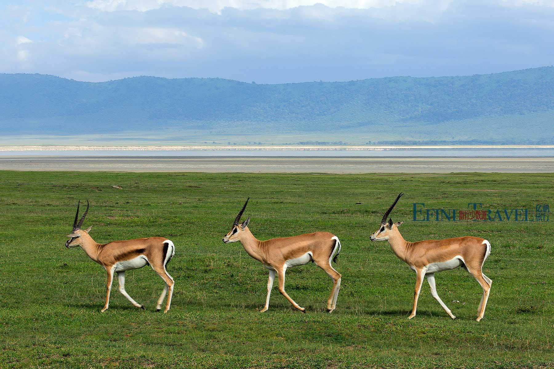 东非坦桑尼亚羚羊
