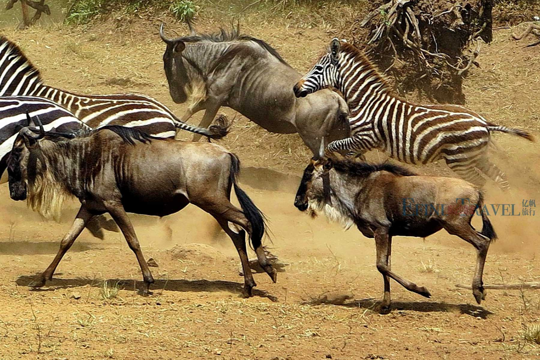 东非动物大迁徙